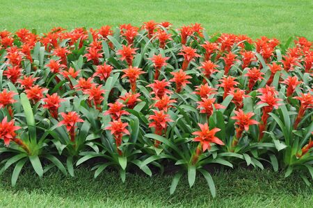 aechmea: Red flowers guzmania beautiful green leaves Stock Photo