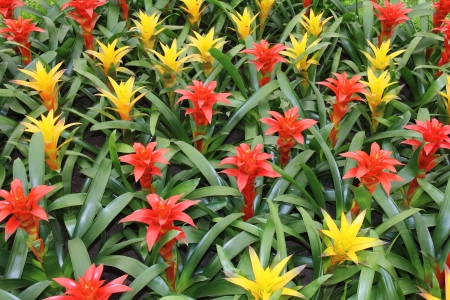 Yellow and red flowers guzmania beautiful green leaves photo
