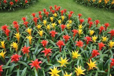 billbergia: Yellow and red flowers guzmania beautiful green leaves Stock Photo