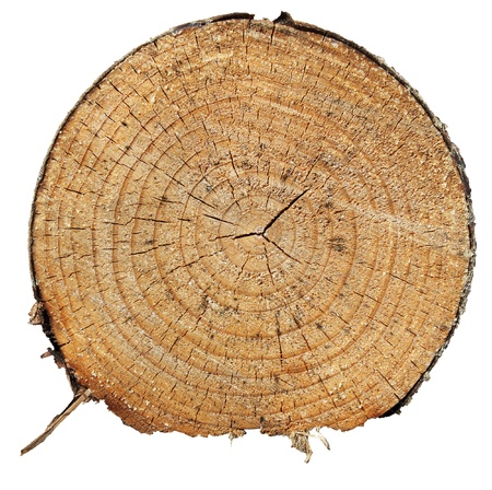 tree trunk: Cross section of pine tree
