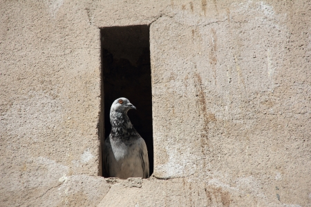 hideout: Pigeon in his hideout in the wall, quietly watching the street Stock Photo