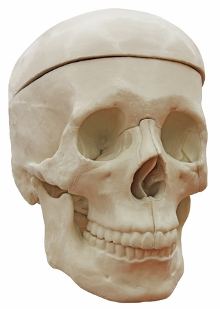 The medical model skeleton head isolated on white background photo