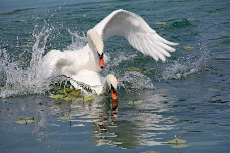 Two white swans played on surface of the lake