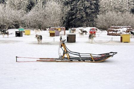 sled dogs: Sled dog team in front box cage waiting for orders