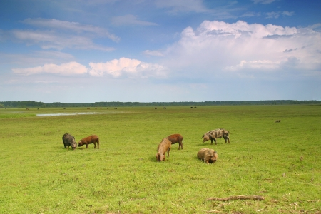Herd pigs graze on the green meadow
