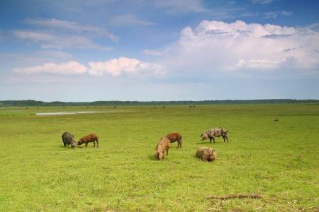 graze: Herd pigs graze on the green meadow