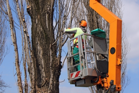 A worker with a chainsaw trim the tree branches on the high Stock Photo