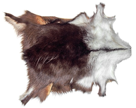 animal skin: Shammy with fur serves as a decoration on the white wall