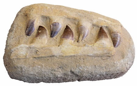 extinct: Mosasaurus anceps tooth from an extinct marine reptile Stock Photo