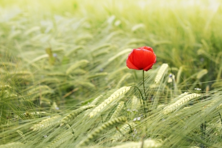 corn flower: Red poppy flowers in green wheat