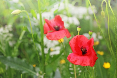 Red poppy flower in green wheat photo