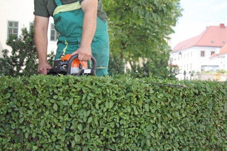 ornamental bush: A man trimming hedge in city park