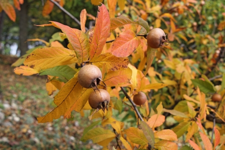 A medlar tree with ripe fruits in autumn