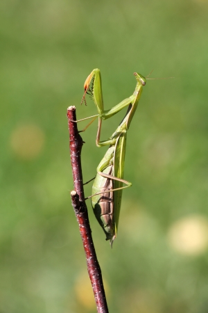 Praying mantis on twig in front of green background photo