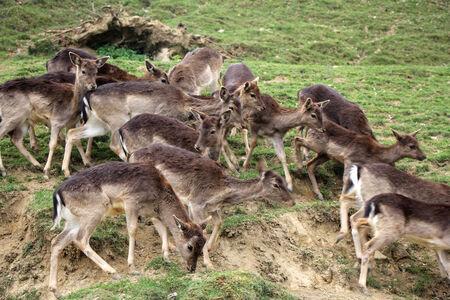 herd deer: A herd of young deers running through the woods Stock Photo
