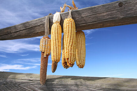 shuck: Ears of corn drying on a wooden beam