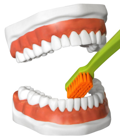 The model of the human jaw with teeth and toothbrush, Isolated with Clipping Path