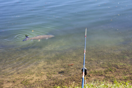 grass carp: Fishing rods on the lake shore and fish in the water