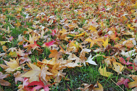 vista: Colorful and Vibrant Colors Autumn leaves on a meadow