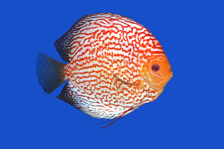discus: Checkerboard Discus fish in a blue background