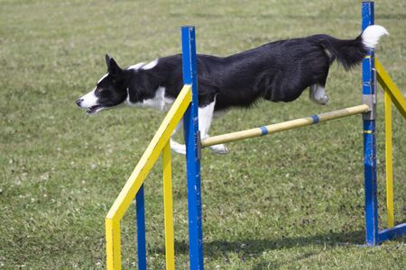 dog agility: Dog Agility jumping over a hurdle during an agility competition