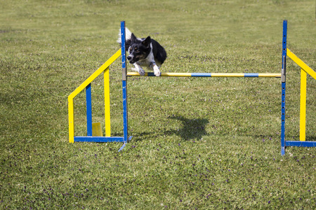 agility: Dog Agility jumping over a hurdle during an agility competition