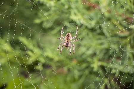 spider: Garden spider Argiope aurantia in its net