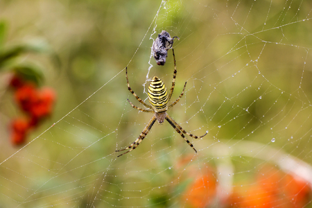 bruennichi: Garden spider Argiope aurantia in its net with prey