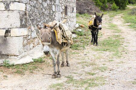 burro: Dos burros amarrados en una antigua casa de piedra