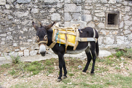 house donkey: Young donkey tied up in an old stone house Stock Photo
