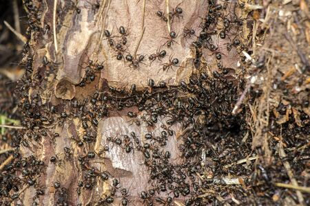 exterminate: Ants colony in the rotten tree in forest