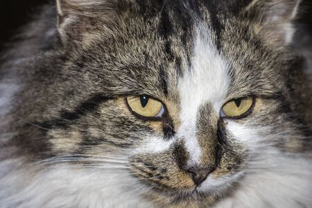 eyed: Portrait of beautiful cat with yellow eyed, close up Stock Photo