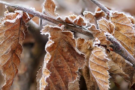 frozen winter: Brown Frozen leaves in winter morning as background texture Stock Photo