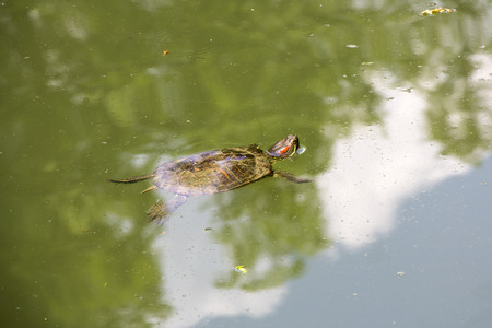 semi aquatic: Small Red Eared Turtle in Lake