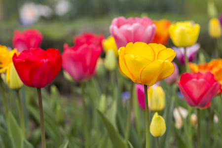 Beautiful Colorful tulips blooms in spring, as Floral Background