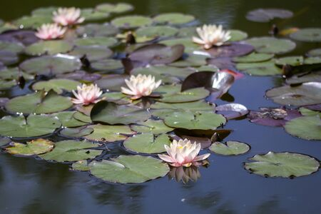 exotic flowers: Exotic Flowers Waterlily lotus on a water Stock Photo