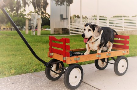 An old dog who is a bagel, beagle and basset mix, is taken for a walk in a wagon wheel by their loving owners as he longer can easily walk