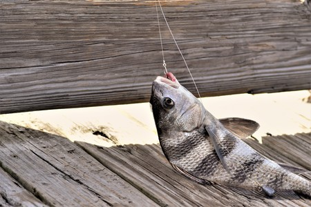 Portrait of a dying Black Drum fish caught with a hook where the line, lead and some blood can be seen Stock Photo