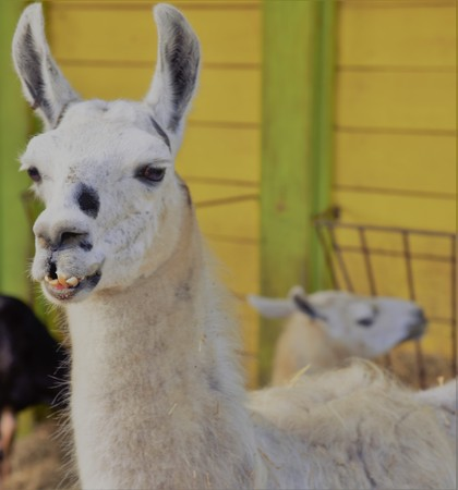 Portrait of an ugly alpaca (Vicugna pacos) showing its outward growing tooth