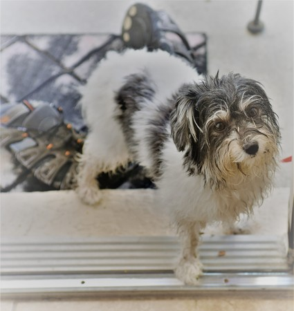 Wet and dirty havanese toy dog wants to come in the house with a miserable look in her face