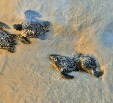 Newly hatched baby turtles are racing Banque d'images - 115820818