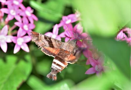 Hummingbird Moth in butterfly garden Banque d'images - 120853353