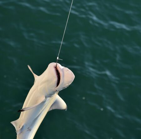 Baby Shark Caught on a line