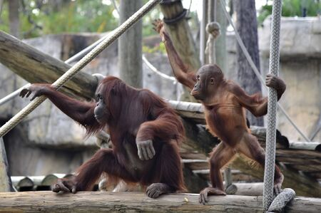 Mother and baby orangutan are looking bored