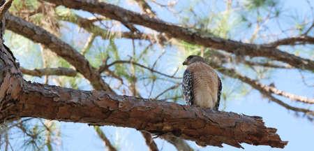 Florida falcon portrait