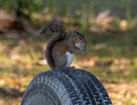 Squarrel Sitting on tire Standard-Bild
