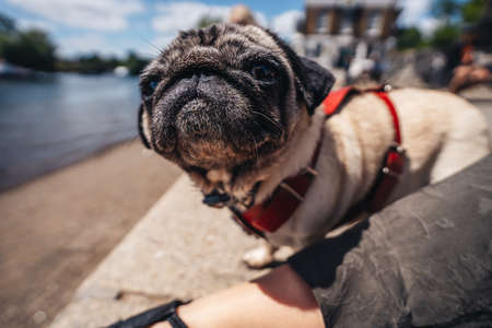 Pug walks along the embankment of the river on a summer day in Richmond