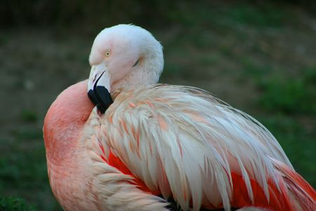 Pink Flamingo Fluffing his Feathers