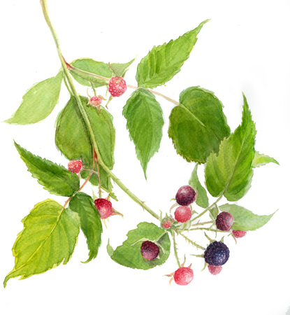 blackberries: juicy blackberries, watercolor illustration