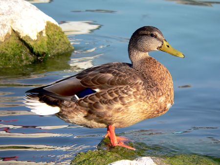 birder: lonely wild duck in the pond Stock Photo